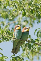 Bee_eaters Merops apiaster resting on a favorite perch in central Bulgaria
