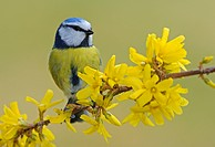 Blue Tit Parus caeruleus perched on a blossoming Forsythia branch Forsythia × intermedia