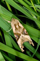 Angle shades moth Phlogophora meticulosa at rest in long grass