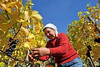 woman harvesting grapes in a vineyard, Germany