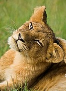 Lion cub Panthera leo scratching ear, Mala Mala, South Africa