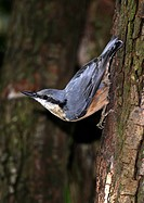 Nuthatch Sitta europaea pauses on the trunk of the tree