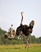 Male and female Ostriches Struthio camelus