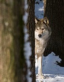 Female gray wolf Canis lupus hunting in the woods, Gravenhurst, Ontario, Canada