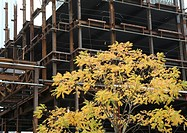 Tree with leaves in autumn colours in front of a building construction