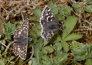 Male grizzled skipper Pyrgus malvae displaying to female