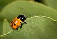 Close_up of a leaf beetle Cryptocephalus bipunctatus feeding on a leaf in a coastal habitat at Rovinj, Croatia
