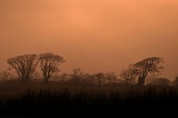 A stand of trees silhouetted against a misty sunset sky