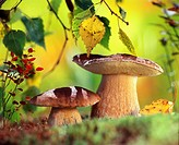 Boletus edulis or Ceps mushrooms  Wild edible mushrooms growing in a forest  Eastern Europe, Russia