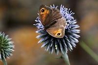 Meadow brown butterfly Maniola jurtina feeding on globe thistle Echinops