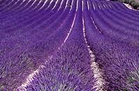 France, Plateau De Valensole, Provence_Alpes_Cote d´Azur