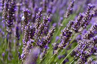 Lavender close_up, France, Plateau De Valensole, Provence_Alpes_Cote d'Azur