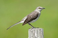 An alert adult Northern mockingbird Mimus polyglottos, Florida, USA