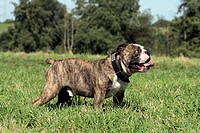 English bulldog Canis lupus f. familiaris, stands on a meadow