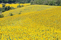 Sunflower Field in France (thumbnail)