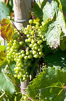 Grapes on vine, France