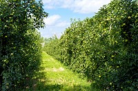 Apple Tree Field in France