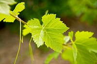 Grape Leaf in France