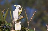 Sulphur_crested cockatoo Cacatua galerita feeding