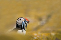Puffin Fratercula arctica with a beak full of sandeels, hiding in rocks on the island of Staple, part of the Farne Islands, Northumberland