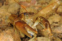 Named after the colouration on the underside of its claws the white clawed crayfish Austropotamobius pallipes is now considered an endangered species ...