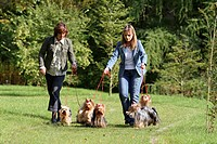 Yorkshire Terrier Canis lupus f. familiaris, two women with six dogs on a meadow, Germany