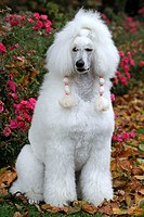 Poodle Canis lupus f. familiaris, poodle sitting in autumn foliage