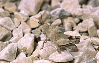 Nymph grasshopper Sphingonotus caerulans camouflaged on stony path
