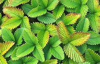 Strawberry leaves abstract pattern image showing subtle variation in colour of leaves