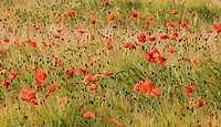 A landscape view of common wild poppies Papaver rhoeas at a later stage showing some of the dark heads after the petals had dropped, growing in a corn...