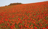 Fields of common poppies Papaver rhoeas in autumn at Dorset