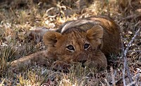 Lion cub Leo panthera relaxing in the shade in the Masai Mara, Kenya