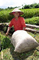 Rice farmer filling a sack with grass, rice paddy at back, Lombok Island, Lesser Sunda Islands, Indonesia