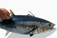 Mediterranean tuna albacore fish mark and release to conservation