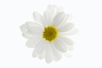 One white daisy flower isolated on white background