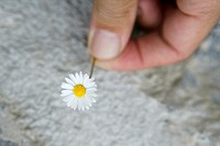 Daisy flower macro detail in man hand over gray stone background