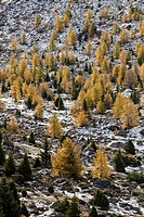 European larch Larix decidua, golden colors during fall in high mountains at 2350m  the tree line is moving up higher due to global warming  Europe, c...