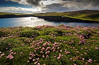 sea thrift, western thrift Armeria maritima, in backlight at a bay of Fair Isle, United Kingdom, Scotland, Shetland Islands, Fair Isle