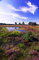 pond in haethland with blooming heath, Germany, North Rhine_Westphalia, Senne