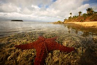 Starfish in the island of Tonga
