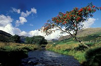 Mountainous landscape with stream and mountain ash tree, Cum Pennant, North Wales, Great Britain