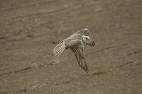 Trained Saker falcon, Germany