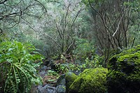 Laurel forest, Laurisilva, moos, Fuentes Marcos y Cordero, natural preserve, Parque Natural de las Nieves, east side of extinct volcanic crater, Calde...