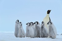 Emperor penguin Aptenodytes forsteri, adult with a group of chicks, Antarctica, Snow Hill Island