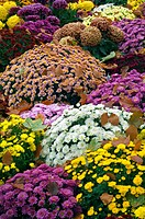 Chrysanthemum in different colours at cemetery