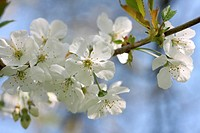 Spring Cherry Blossom Prunus Avium Wild Cherry or Sweet Cherry Tree