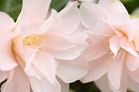 Spring Flower White Blush Pink Camellia Blooms