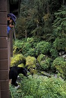 Visitor Films Black Bear @ Anan Creek Cabin SE AK Summer Tongass NF