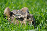 European hare Lepus europaeus, sitting in the grass, ducking, Austria, Burgenland