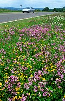 Wildflowers with ragged robin Lychnis flos_cuculi in verge along road, Europe